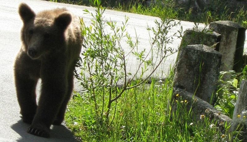 Bärenalarm – Parkplätze im Kaukasus für Camper gesperrt